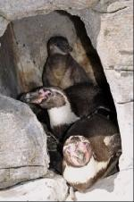 Családot alapított a meleg pingvinpár